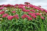 Flowering Plant P1130143-5