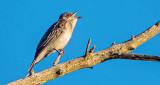 Kingbird Calling DSCF21578