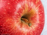 Apple Stem DSCN01887-92