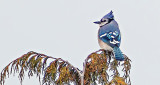 Blue Jay Atop A Pine P1250176