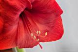 Red Amaryllis P1160899-900