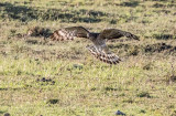 African cuckoo-hawk A5814