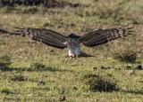 African cuckoo-hawk A5824