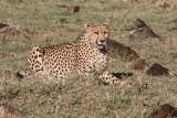 Cheetah 754