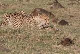 Cheetah 5752