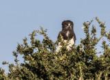 Black-chested snake eagle 499
