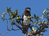 Blackchested Snake Eagle 6557