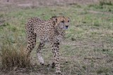 Cheetah 6509