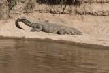 Crocodile 6163