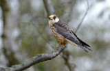 Red-footed Falcon - Aftenfalk