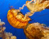 Jellyfish II