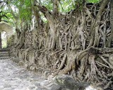 Not a temple in Angkor. A wall of Fasilides' Bath in Gondar, Ethiopia, is hidden behind these strangler figs (Ficus gibbosa).