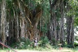 Banyan tree near Deogarh waterfall, Orissa, India