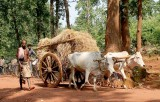 Paudi Bhuyan with ox cart