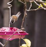 Chestnut-backed Chickadee Visiting the Feeder