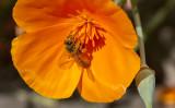 Dusty Bee