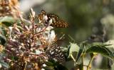 Variable Checkerspot butterflies