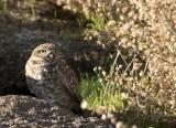 A Burrowed Owl