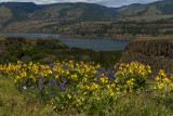 Wildflowers at the Tom McCall Preserve