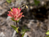 Bee visiting the Indian Paintbrush