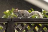 Showery Squirrel