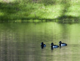 Ring Necked Ducks