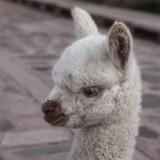 Jeune alpaca