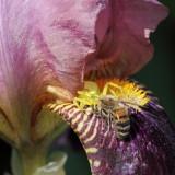 Thomise sur iris