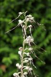 Orchid Himantoglossum