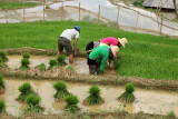 Plant de riz