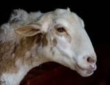 Sheep...In Reston Zoo