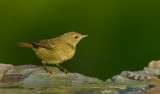 Yellow Warbler ~ Female