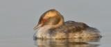 Horned Grebe