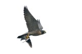 Peregrine Falcon with Captured Dowitcher
