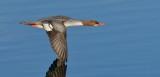 Common Merganser ~ Female