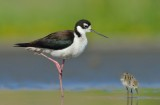 Black-necked Stilt & Chick