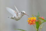 Leucistic Female Anna's Hummingbird