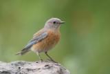 Western Bluebird ~ Female