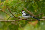 Pin-tailed Whydah ~ Male