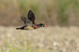 Wood Duck ~ Drake