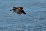 Red-winged Blackbird ~ Male