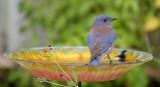 Western Bluebird ~ Male