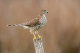Sharp-shinned Hawk ~ Juvenile