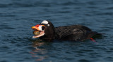 Surf Scoter with Clam