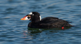 Surf Scoter ~ Male