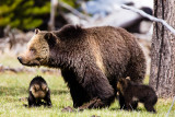 Black & Grizzly Bears