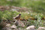 Rock Bunting, female