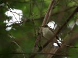 Upcher´s Warbler