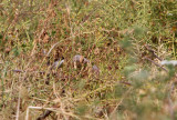 Ménétries's Warbler