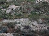 See-see Partridge